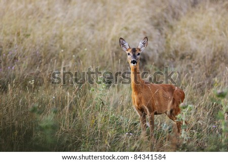 Female European roe-deer in summer grass looking at the camera with curiosity