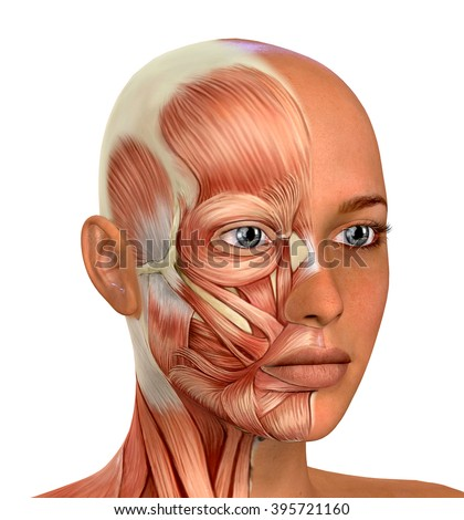 Female Face Muscles Anatomy - stock photo