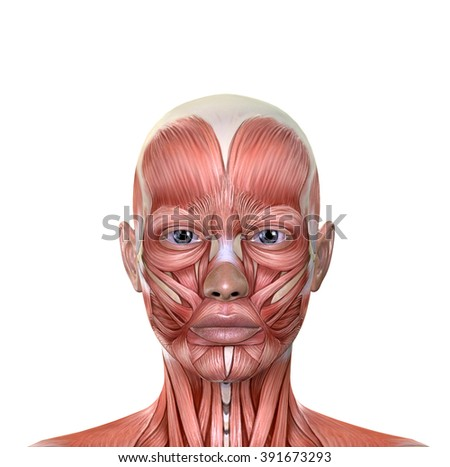Female Face Muscles Anatomy Isolated On Stock Illustration 391673293 ...