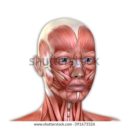 Female Face Muscles Anatomy Isolated On Stock Illustration 391673326