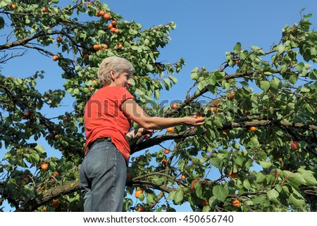 Female farmer at ladder picking apricot fruit from tree in orchard