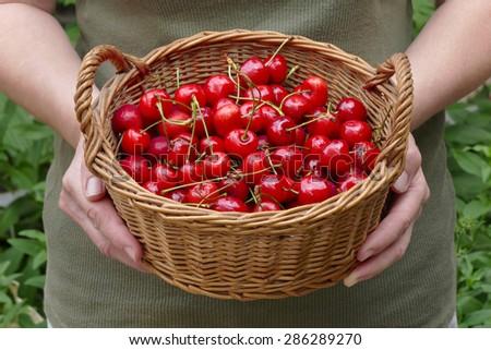 Female farmer hold basket full of sweet cherry - stock photo