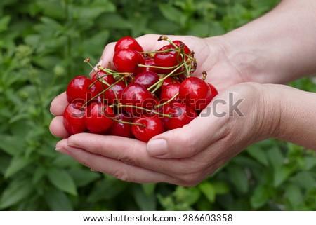Female farmer hold handful of sweet cherry - stock photo