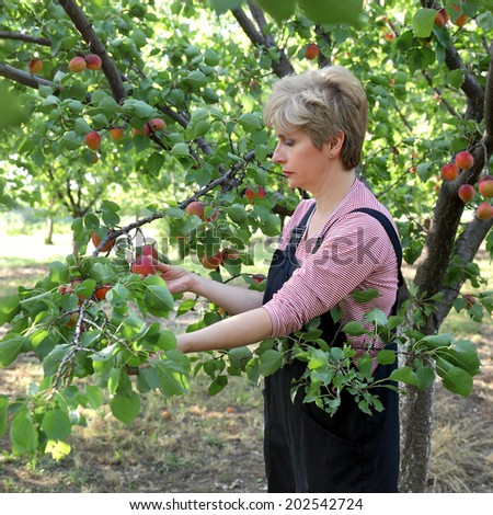 Female farmer picking apricot fruit from tree in orchard