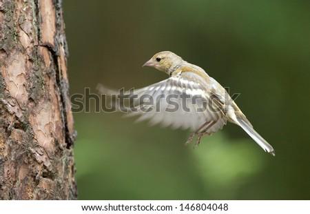 Female finch in flight - stock photo
