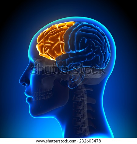 Female Frontal Lobe - Anatomy Brain - stock photo