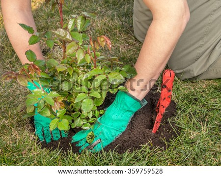 Female gardener planting rose shrub in the dug hole in her backyard garden - stock photo