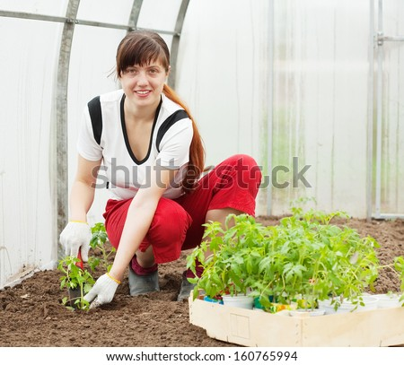 Female gardener planting tomato spouts in hothouse