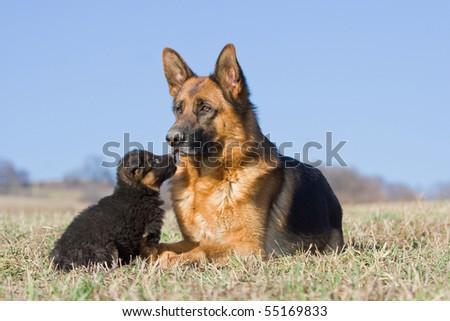 Female German Shepherd dog with nice puppy - stock photo