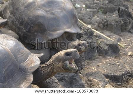 Female giant tortoises at the Charles Darwin Research Station on Santa Cruz Island, the Galapagos. - stock photo