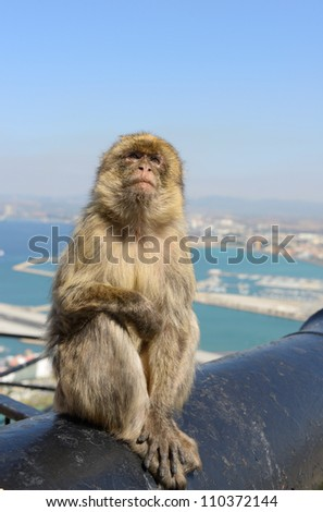 Female Gibraltar Monkeys or Barbary Macaques seating on the cannon