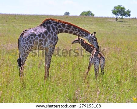 Female Giraffe in Africa with a calf. - stock photo