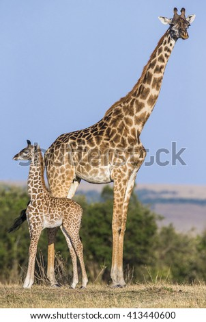 Female giraffe with a baby in the savannah. Kenya. Tanzania. East Africa. An excellent illustration. - stock photo