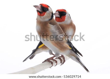 female goldfinch isolated on a white background