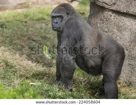 Female Gorilla - stock photo