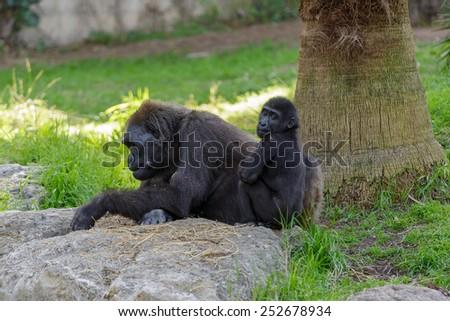 Female gorilla with her child - stock photo