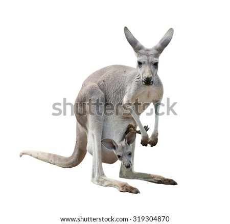 female gray kangaroo with joey in pouch isolated - stock photo