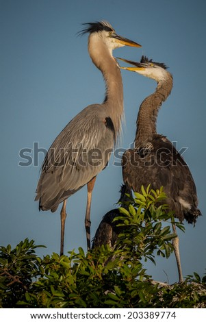 Female great blue heron deals with young offspring