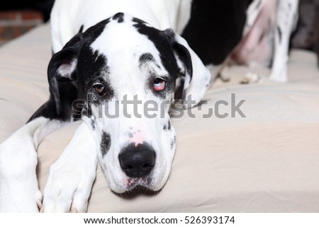 Female Great Dane lying on a dog bed.