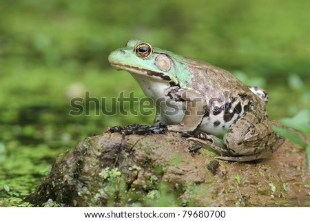 Female Green Frog (Rana clamitans) and Young Frogs on Log