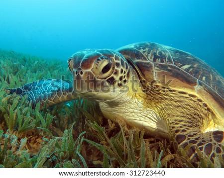 Female green sea turtle (Chelonia mydas) - stock photo