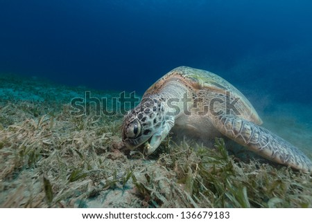 Female green turtle eating sea grass