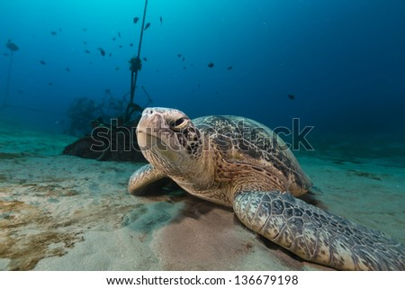 Female green turtle in the Red Sea