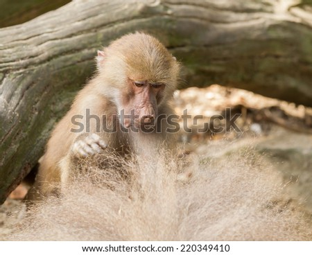 female hamadryas baboon is looking for fleas in male fur - stock photo