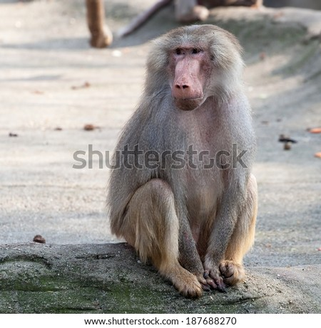 female hamadryas baboon monkey sitting full-length closeup view - stock photo