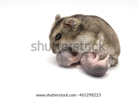 Female hamster breastfeeding her new born babies