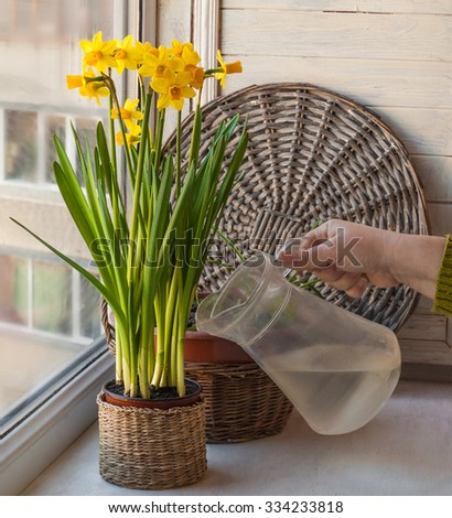 Female hand are watered from a glass jar yellow daffodils - stock photo