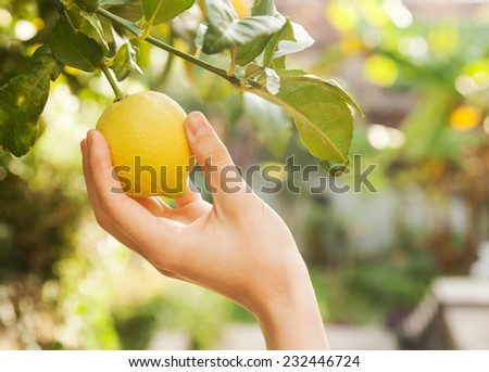 female hand breaks a lemon from tree branch - stock photo