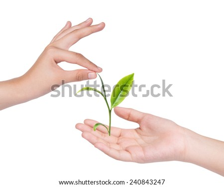 Female hand holding green tea leaves isolated on white