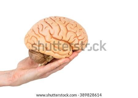 female hand holding model human brains isolated on white background - stock photo