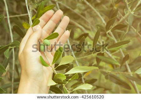 Female hand holding olive tree branch with two unripe olives   - stock photo