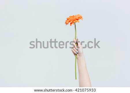 Female hand holding red gerber isolated on a white background