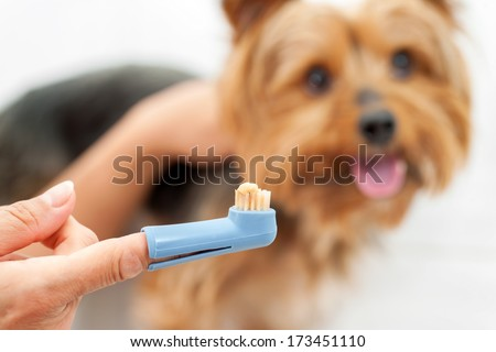 Female Hand holding toothbrush with toothpaste and yorkshire dog in background. - stock photo