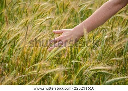 Female hand over field of fresh rye - stock photo