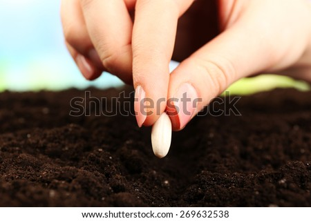 Female hand planting white bean seed in soil, closeup - stock photo