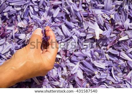 Female hand retrieve purple flower petals - stock photo