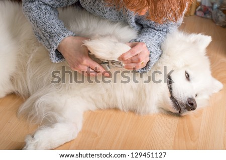 Female hands cutting claws on bright white samoyed dog.