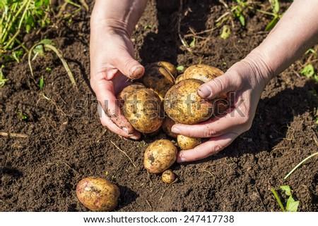 Female hands harvesting fresh new potatoes from soil - stock photo