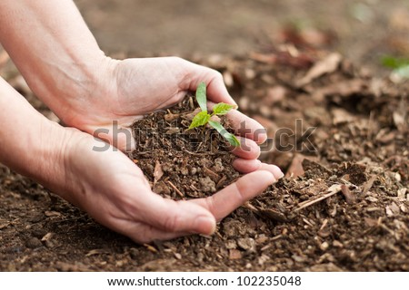 female hands holding a new maple tree sprout with green leaves - stock photo
