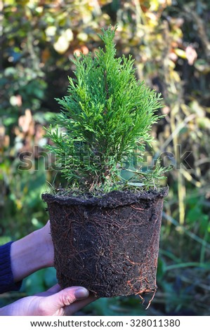 Female Hands Holding and Planting Cypress, Thuja with Roots (Thuja Occidentalis Golden Brabant). - stock photo