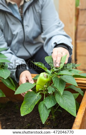 Female hands holding green bell pepper growing in earth in kitchen garden