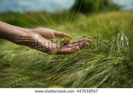 female hands touching wheat
