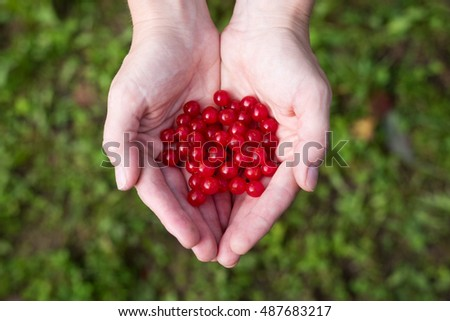 Female hands with red berries of viburnum