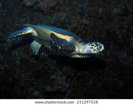 Female Hawksbill turtle (Eretmochelys imbricata) along the Blue Hole wall - stock photo