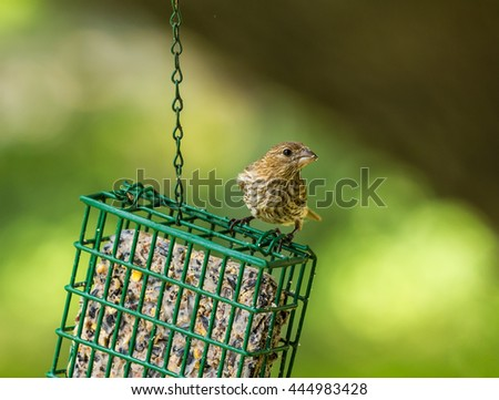 Female House Finch (Haemorhous mexicanus) perched on suet feeder filled with seeds and grain.  Shallow dof and Selective focus with soft background. - stock photo