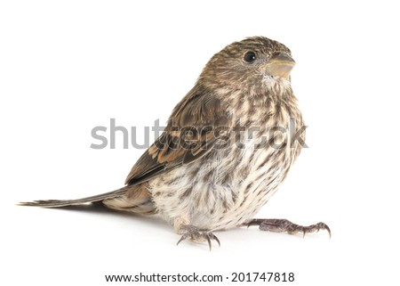 Female House Finch on a white background - stock photo